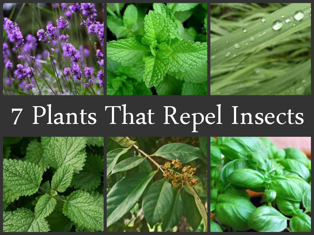 What plants scare away garden pests with their smell What kind of what
